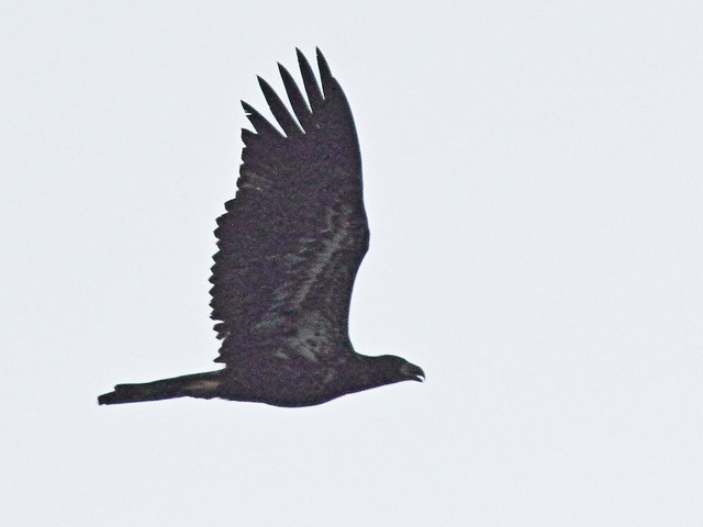 Bald Eagle juvenile 02-20160729