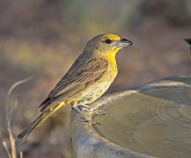 Hepatic-Tanager-4-7D2a-150716