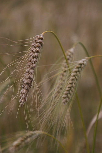 Ancient wheat trials - Diversifood